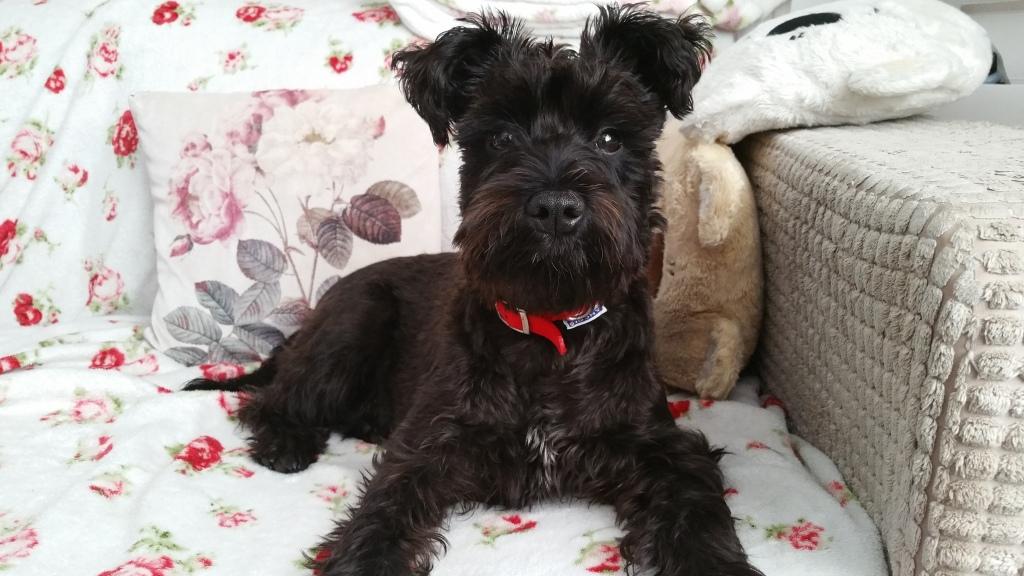 Mała Lola miała niespełna 2 lata. Mini schnauzer, small dog on a sofa.
