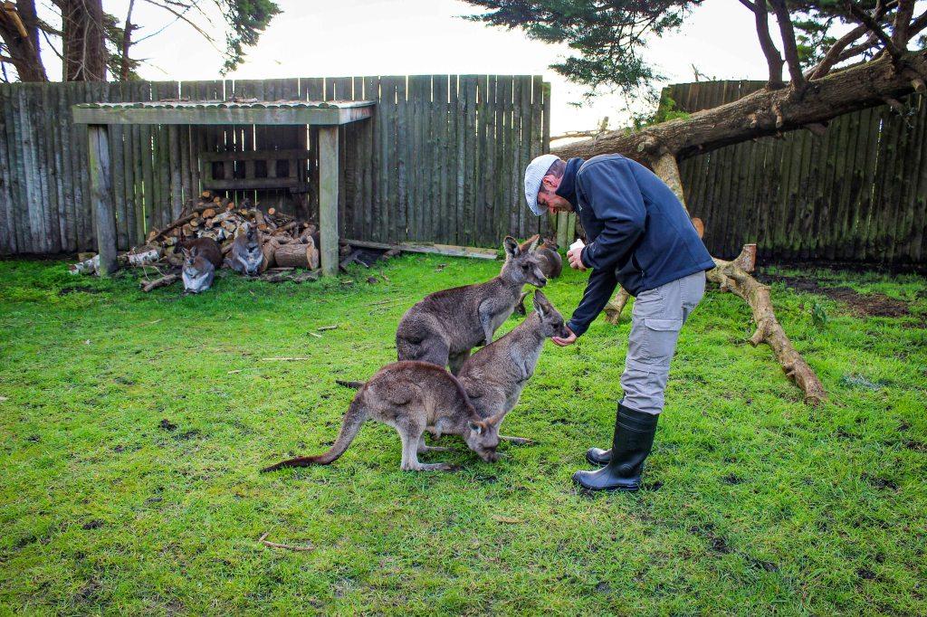 Mężczyzna karmi kangury, Australia. Man feeding wallabies.